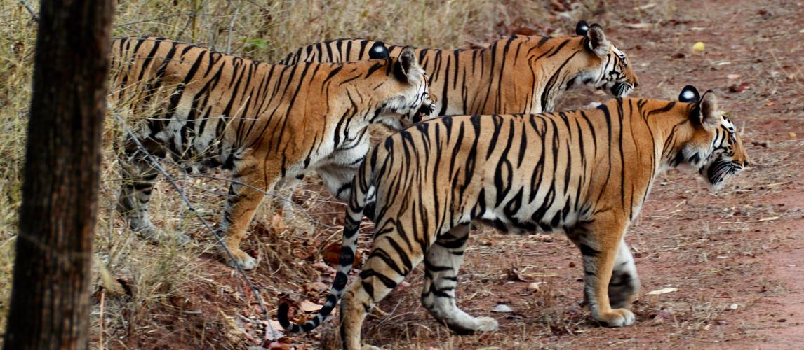 tiger-tours-india